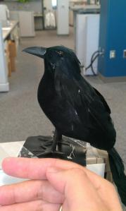 Every cemetery auditor should have her own crow, right?