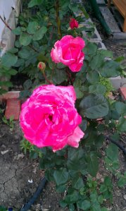 pink rose 2012