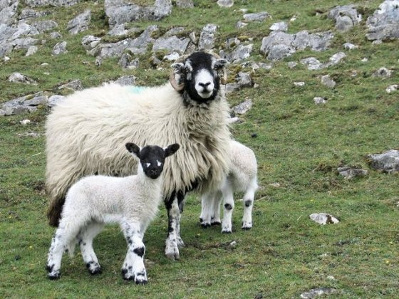 sheep Jacob Genesis